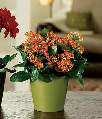 Colorful Kalanchoe